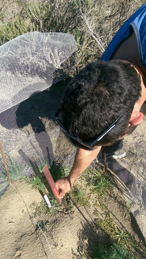 CCBER staff measuring Nipomo lupine seedling