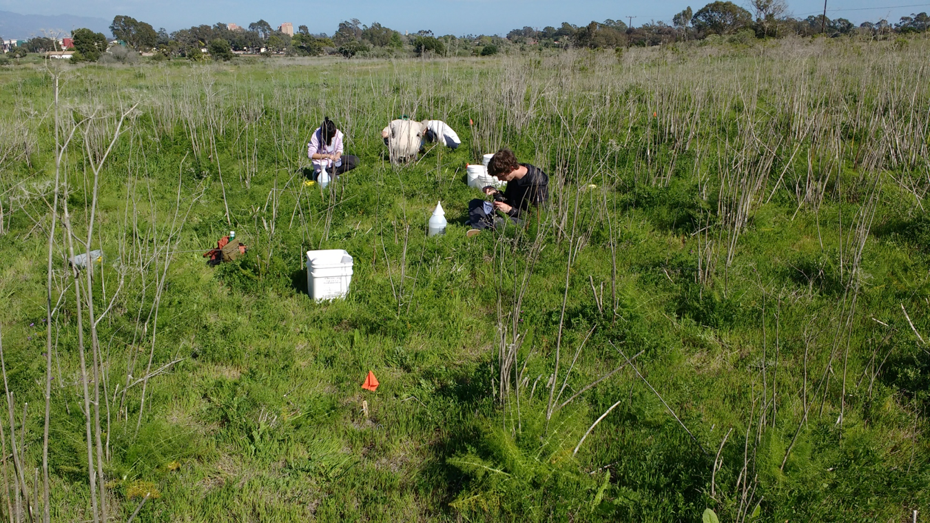 Student interns collecting arthropods from yellow pan traps